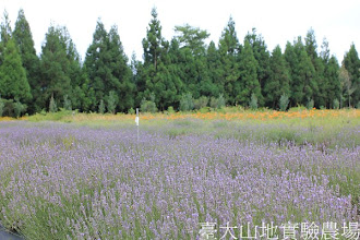 Photo: 拍攝地點: 梅峰-一平台 拍攝植物: 薰衣草 拍攝日期:2012_07_18_FY