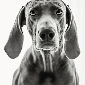 Diplomat Shefis by Hanna Králíková - Animals - Dogs Portraits