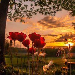 Poppy's in Sunset by Rose-marie Karlsen - Landscapes Sunsets & Sunrises ( nature, flora, trees, suset, landscape, flower, , World_is_RED )