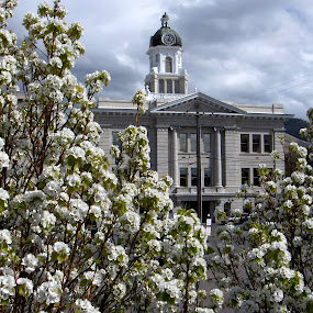 Missoula County Court House Clock Tower by Gregg Landry - Buildings & Architecture Other Exteriors ( missoula city, fruitless pear trees, pwcclocks-dq, missoula county, missoula, pear blossoms )