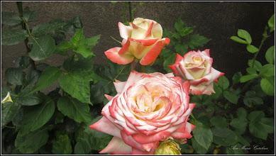 Photo: Trandafir (Rosa) - din Turda, Str. Salinelor, Nr.2 - 2019.06.19