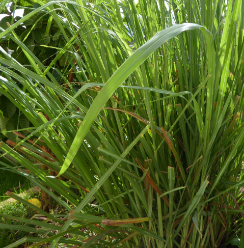 eo-lemongrass.PNG