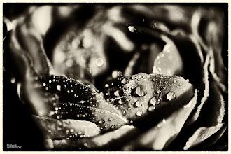 Photo: ROSE NOIRE ...  gib jedem tag die chance, der schönste deines lebens zu werden. (mark twain)  ich wünsche euch allen einen schönen freitag und einen guten start ins wochenende. :)  noire-14122012  #floralfriday  with thanks to +Tamara Pruessner+FloralFriday                              #dailydepthoffield  by +Vince Ong+Nuraini Ghaifullah+Daily Depth Of Field #creative366project  by +Takahiro Yamamoto+Jeff Matsuya+Creative 366 Project #fotoamateur  by +Britta Rogge+Remo Primatesta+Karsten Meyer+Markus Landsmann+Scotti van Palm+Fotoamateur #breakfastclub  by +Gemma Costa+Breakfast Club #hqspmonochrome  by +Blake Harrold+Rinus Bakker+Delcour Eric+HQSP Monochrome #allthingsmonochrome  by +Charles Lupica+Bill Wood+All Things Monochrome #1000photographersbwmonochrome  by +Robert SKREINER+Nikola Nikolski+10000 Photographers BW Monochrome #givemeyourbestshot  by +Gene Bowker+Tisha Craw+lane langmade+Brad Buckmaster #PlusPhotoExtract  by +Jarek Klimek #earthmymother +Earth my Mother #beautifulplanetearth +Beautiful planet Earth #pixelworld  by +Roger Albani+PixelWorld #monochromephotography  #monochrome  #monochrome52  #monochromemonday  #blackandwhitephotography  #blackandwhite  #bokeh  #bokehphotography  #bokehlover