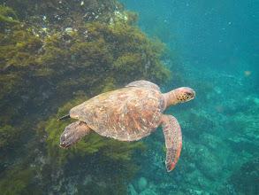 Photo: Sea turtle.