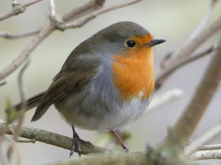 Robin by Judy Boyle - Animals Birds (  )