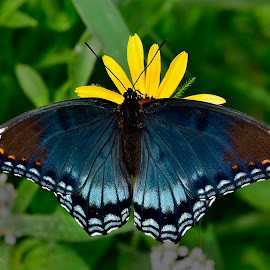 red spotted purple by Jeff Sluder - Animals Insects & Spiders ( butterfly, wildflower garden,  )