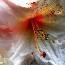 Crumpled Beauty by Zuzana Stolzová - Uncategorized All Uncategorized ( pink flower, white flower, details, flower, garden flower )