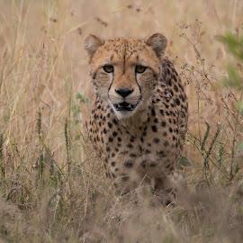 Cheetah  by Pter Engelb - Animals Lions, Tigers & Big Cats ( #cheetah #spots )