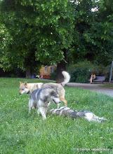 Photo: Marley, Nikita a roční malamutka jejíž jméno jsem zas zapomněla