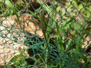 Photo: 黃口攀蜥
