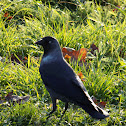 The hooded crow