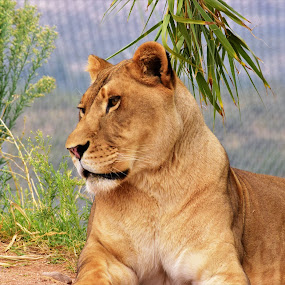 Lioness by Maria Epperhart - Animals Lions, Tigers & Big Cats ( wild animal, park, nature, lioness, wildlife,  )