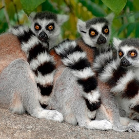Three Lemurs by Tom Theodore - Animals Other Mammals (  )