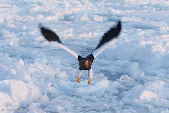 Photo: Surveillance - a Steller's Sea Eagle doing the rounds