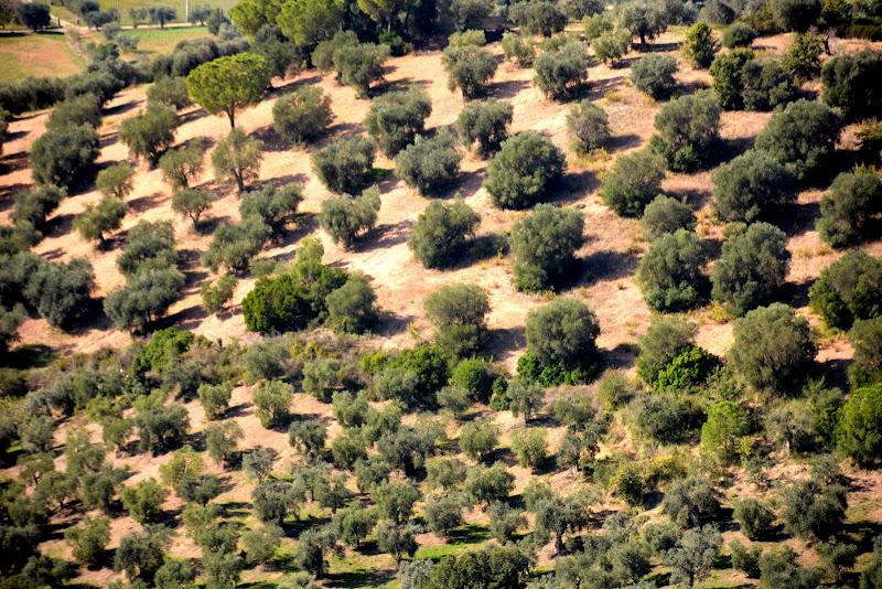 Pini e olivi di MORENO ANTOGNOLI