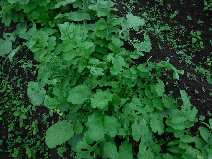 三浦大根の葉、虫食いが多い