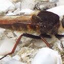 unknown Robber Fly