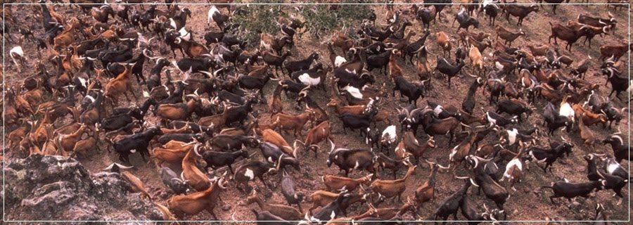 Projeto Isabela: Cabras traindo cabras nas ilhas Galápagos