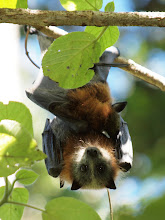 Photo: Grey-headed Flying Fox - mother & young
