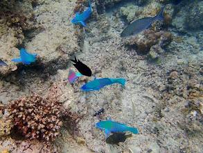 Photo: Scarus dimidiatus (Yellow-barred Parrotfish), Miniloc Island Resort reef, Palawan, Philippines.