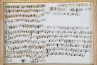 Photo: ZSM-HD-0001150 Various Ichneumonidae indet.