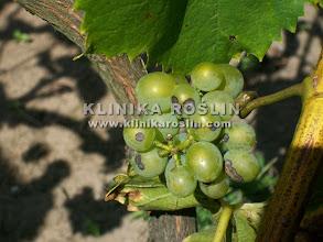 Photo: Antraknoza (Elsinoe ampelina) na jagodach
