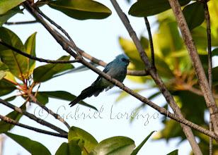 Photo: Elminia azul (Elminia longicauda)