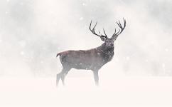 mannetjes hert in de sneeuw