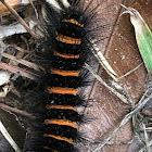 Giant Woolly Bear Caterpillar