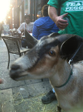 Photo: Peggy the Goat at Bar.