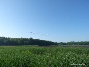 Photo: Geese arriving