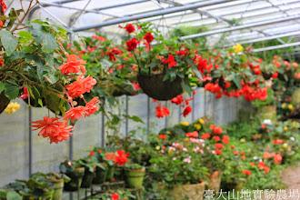 Photo: 拍攝地點: 梅峰-溫帶花卉區 拍攝植物: 球根秋海棠 拍攝日期: 2014_08_18_FY