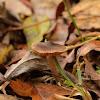 Fawn Cortinarius