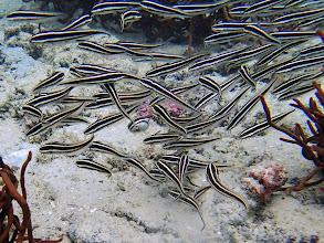 Photo: Plotosus lineatus (Coral Catfish), Miniloc Island Resort reef, Palawan, Philippines.