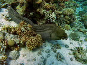 Photo: Moray eel