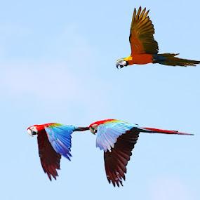 1+2 FORMATION by Ian Sumatika - Animals Birds