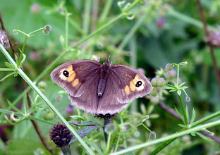 Photo: Meadow Brown