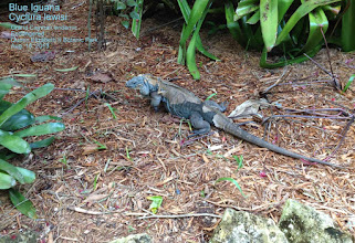 Photo: Blue Iguana - Cyclura lewisi, Endangered Grand Cayman endemic, named after biologist C. Bernard Lewis, Rhodes Scholar, who took a male and female to the British Museum of Natural History,  collected during the 1938 Oxford University Biological Expedition to the Cayman Islands. Photo: Ann Stafford, in the Colour Garden, Queen Elizabeth II Botanic Park, Grand Cayman, Aug. 18, 2013