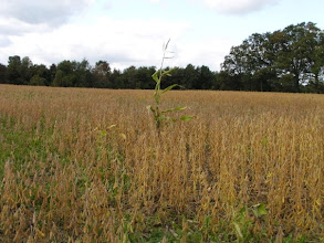 Photo: Another field of soybeans, farther along in their ripening. Leaves are gone, mostly. (Sept. 28, 2009)