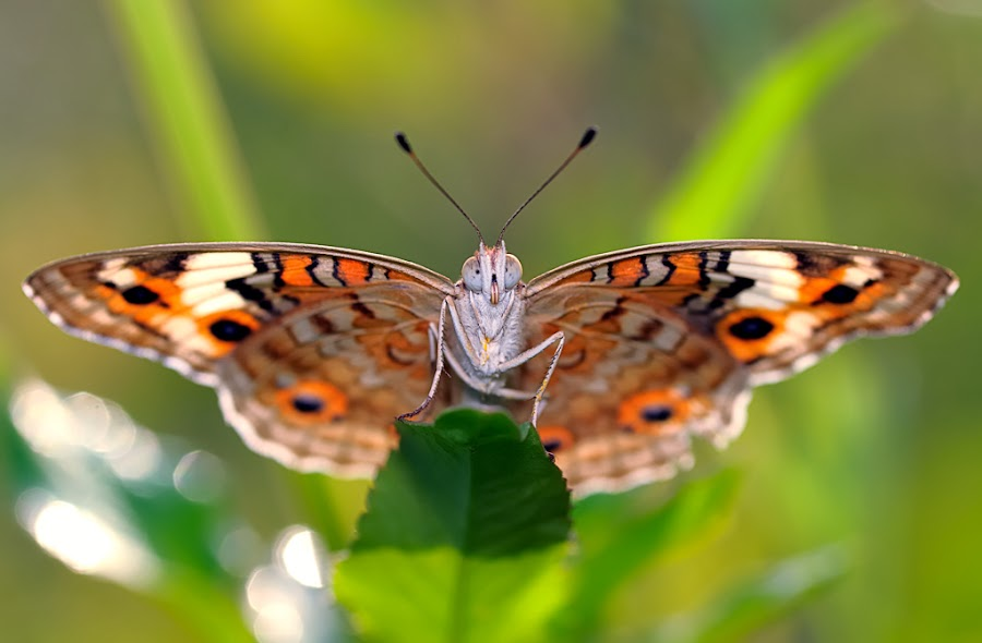 Butterfly by Repindo Nasution - Animals Insects & Spiders ( butterfly, macro )