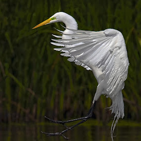 Great Egret Near Shore by Don Holland - Animals Birds