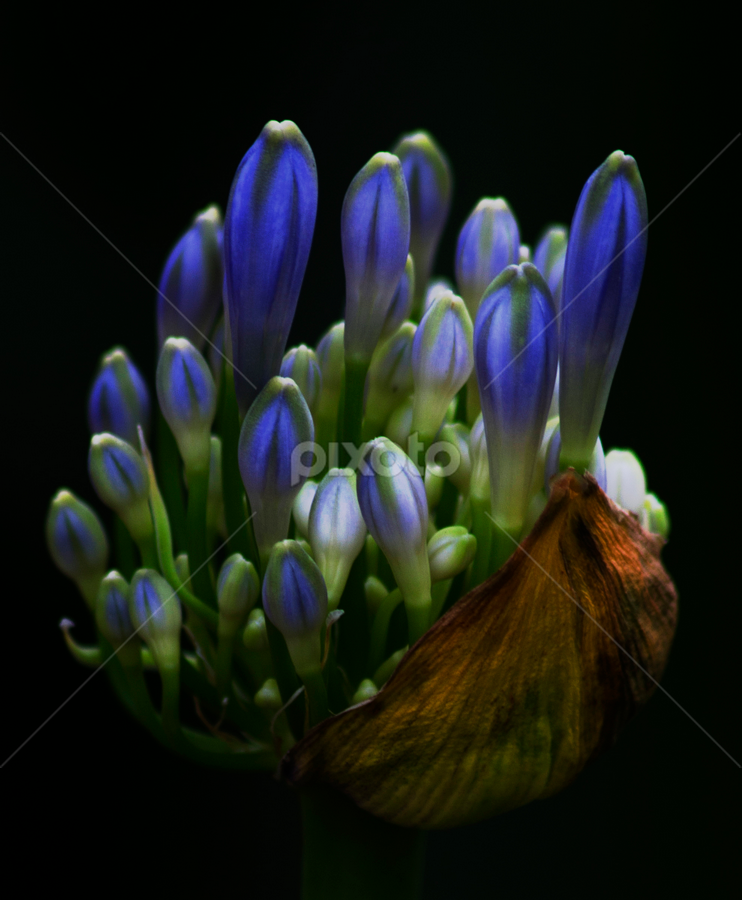 Arising by David Ubach - Nature Up Close Flowers - 2011-2013 ( macro, blue, buds, flower, closeup )