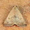 Variable snout moth
