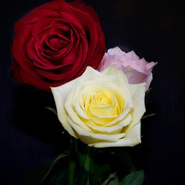 beautiful roses by LADOCKi Elvira - Flowers Flower Arangements ( rose, nature, flowers, garden )