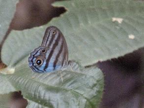 Photo: AGATHA'S BLUE-SATYR--EL CAPRICHO TRACK