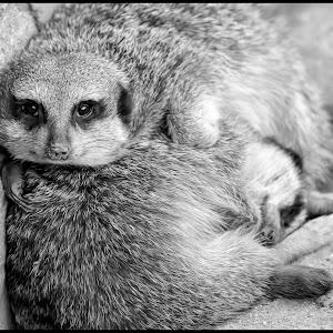 Meerkat-14.jpg