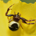 Napoleon spider