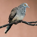 Barred Dove