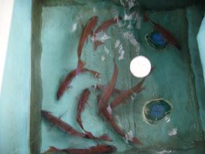 Photo: オギノ、くまがいペアの真鯛も着々と増えております!