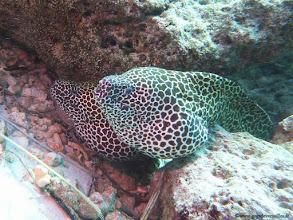 Photo: #017-Murène-léopard sur le site de Corner Faru-Club Med Kani.